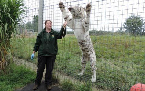A Bengal tiger mauls zookeeper