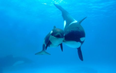 Captive orcas given a new chance at life