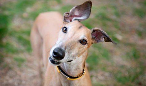 What happens to greyhounds after their racing careers end?