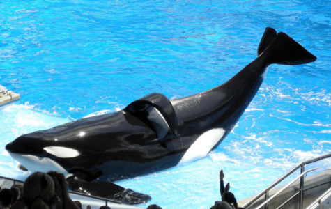 SeaWorld faces allegations of illegal whale breeding