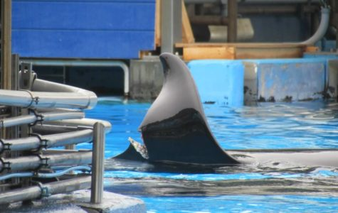 Katina, the orca, injured in an act of aggression