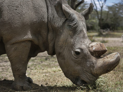 Last male white rhino dies