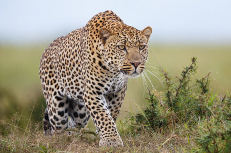 Boy killed by leopard in Uganda