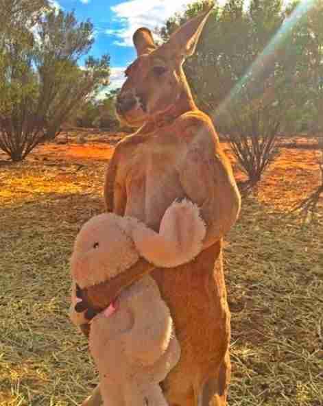 Iconic kangaroo passes away