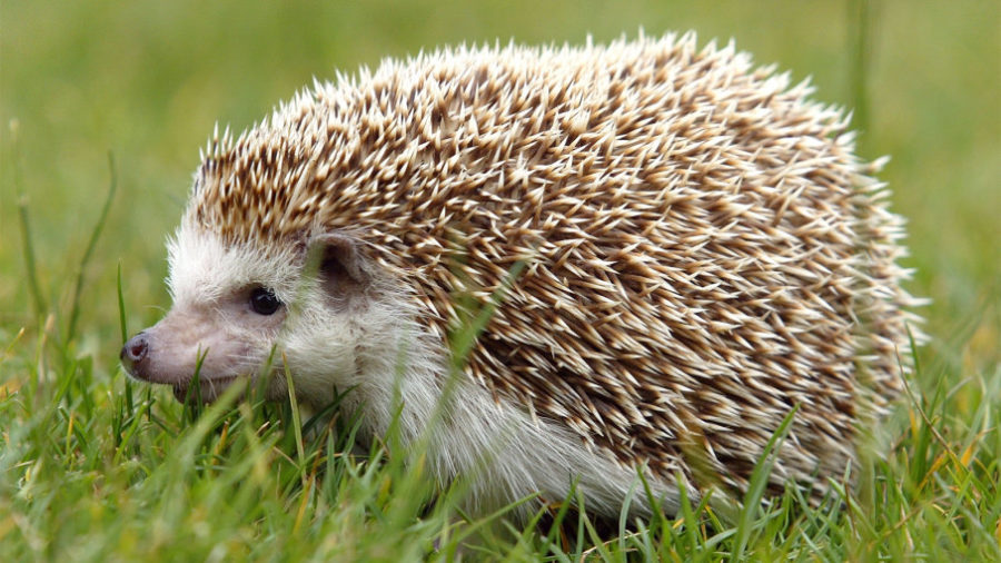 Learning about hedgehogs
