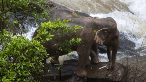Eleven elephants die as they try to rescue a calf
