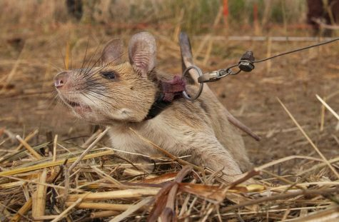 Magawa, the mine-detecting rat, awarded prestigious animal award